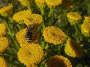 Seidenbiene, Holzner_hell