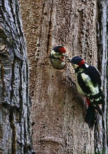 425px-Dendrocopos_major_-London,_England_-male_feeding_chick_StuartBurns_2011_WikimediaCommons