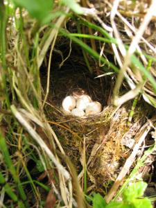 450px-Erithacus_rubecula-eggs_Yerpo2007_WikimediaCommons
