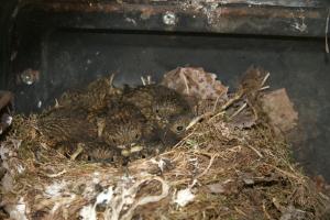 Baby_European_robins_in_a_nest_Canonlars_WikimediaCommons