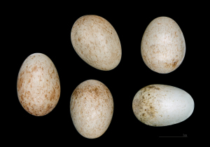 (Erithacus rubecula whiterbyi) Hartert, E, 1910 232 HdB Ouarsenis Algérie