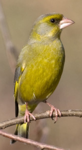 Greenfinch-cropped_Treptewwww.photo-natur.de(CC BY-SA 3.0)
