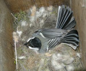 Kohlmeise_Nest_Rönning2008_WikimediaCommons