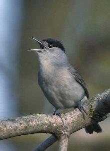 Mönchsgrasmücke_Sylvia_atricapilla_male_Jakub_Stanco_Uploader_Poutnik2_WikimediaCommons