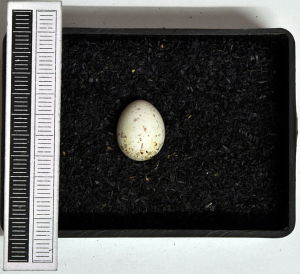 Serinus_serinus_MWNH_2345_Egg_KlausRassinger_GerhardCammerer_WikimediaCommons