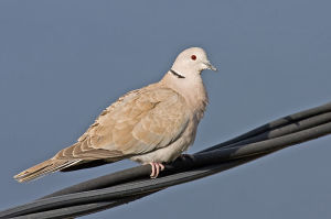 Türkentaube_800pCollared_Dove_Andreas Trepte_www.photo-natur.de