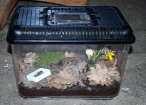 Beobachtungskasten mit frisch geschlüpfter Osmia_Hahsler
