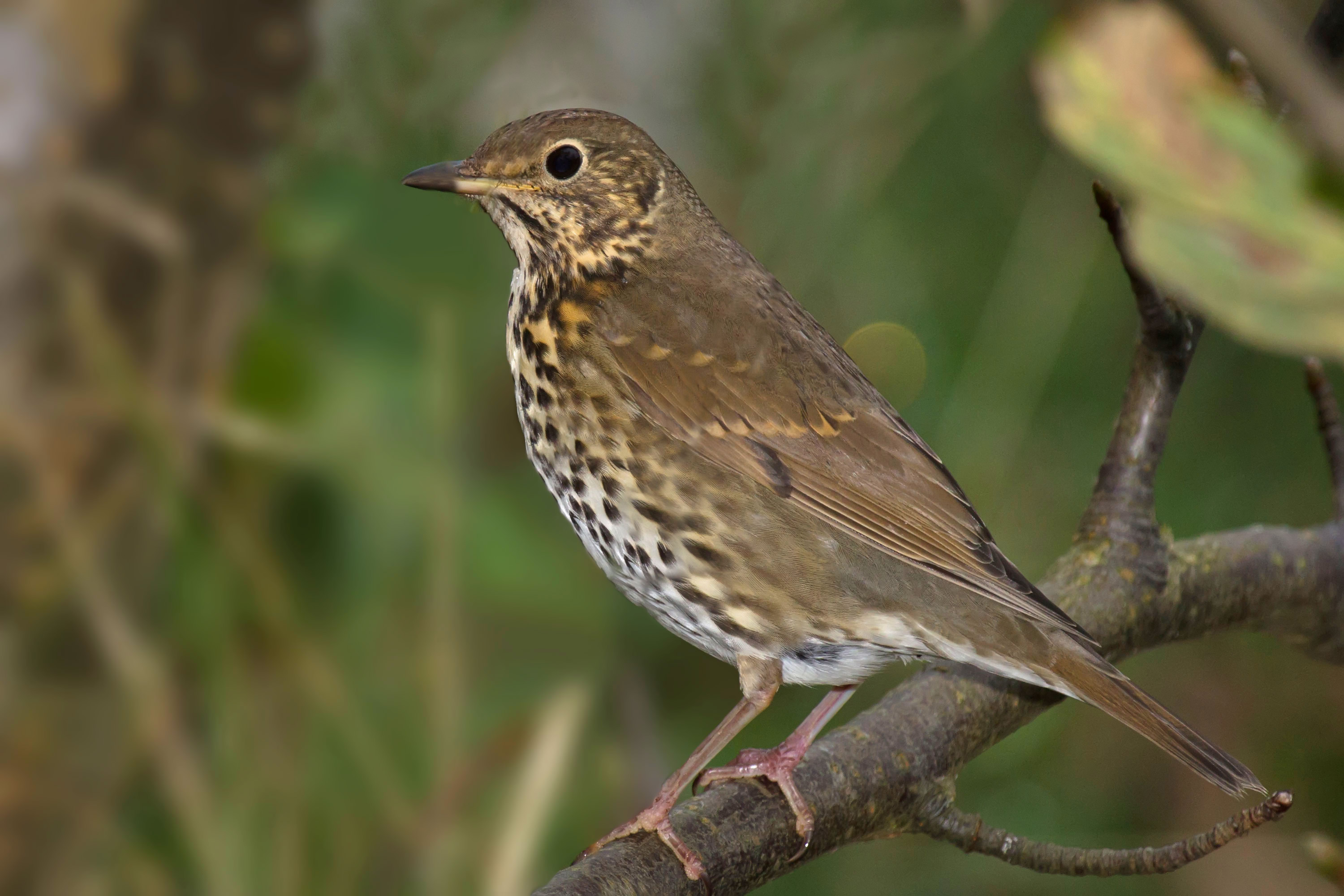 Song_Thrush_Turdus_philomelos_Andreas_Trepte_www.photo-natur.de_Wikimedia