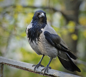 Corvus_cornix_-perching-8_ponafotkas_source_raven_CC BY-SA 2.0