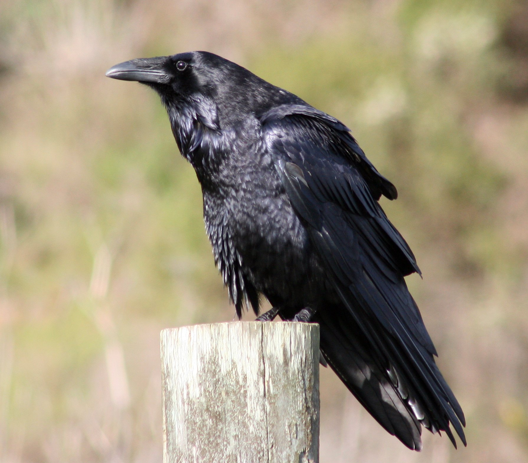 Corvus corax/Common Raven